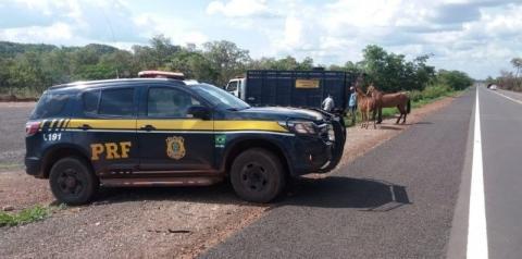 PRF inicia Operação de Apreensão de Animais em rodovias no Piauí