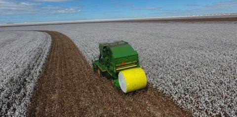 Piauí registra produção de algodão acima da média nacional
