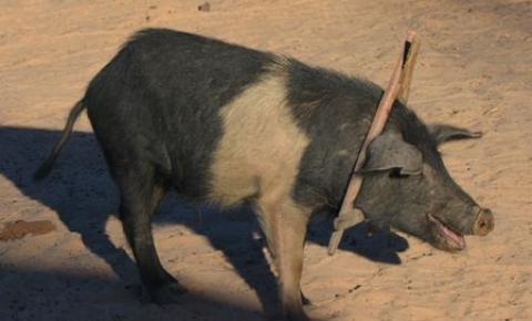 Comida de Porca
