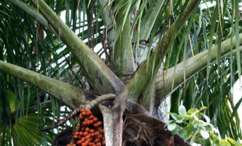 Buriti pode ser um substituto para o maldito isopor
