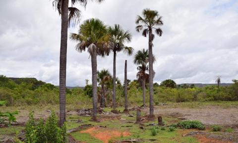 Buritizais da bacia hidrográfica do Rio Paraim são destruídos por criações de suínos, queimadas e desmatamento