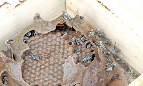 Extinção de abelhas ameaça o Piauí