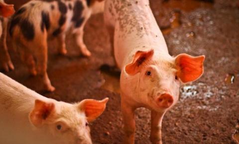 Defesa agropecuária proíbe trânsito de suínos entre Cristalândia e Formosa do Rio Preto
