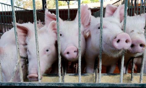 Segundo foco de peste suína é confirmado no Piauí, 15 animais foram sacrificados