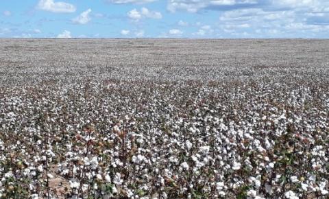 Quase 20% da safra de algodão do Piauí serão colhidos em Santa Filomena